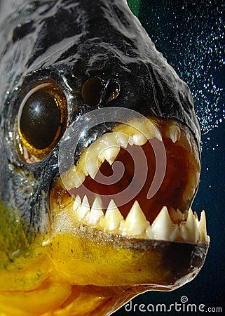 Piranha closeup