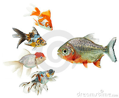 Piranha and goldfish