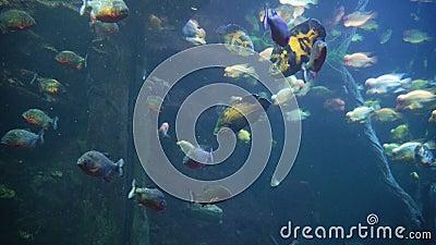Piranha nell'acquario fra acquatico amazzoniano stock footage