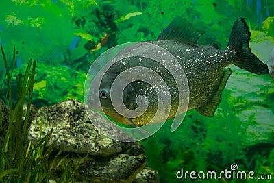 Piranha rybi drapieżnik