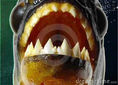 Piranha - Teeth closeup