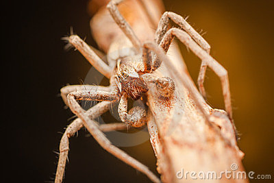 Pisaura Mirabilis male spider