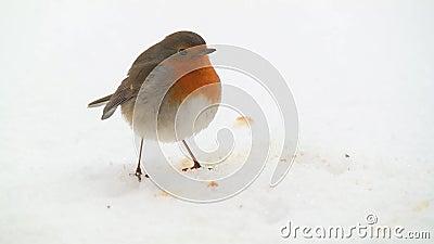 Pisco de peito vermelho que come na neve video estoque