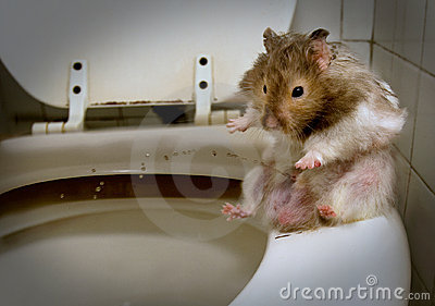 Pissing mouse  - hamster