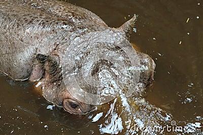 Pista del hipopótamo