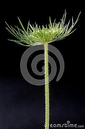 Pista del seedpod de la flor salvaje