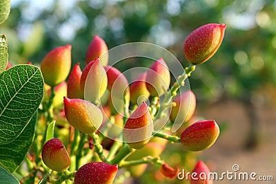 Pistacheboom royalty vrije stock afbeelding afbeelding 31016146 - Bush architectuur ...