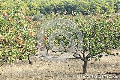 Pistachio grove