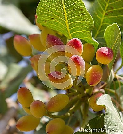 Pistachio plant