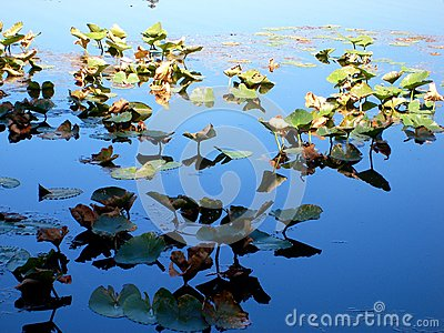 Lilly Pads In Sun y sombra