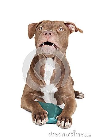 Pit bull aggressively protects handbag