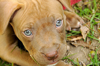 Free Pitbull Puppies on Royalty Free Stock Photo  Pit Bull Puppy  Image  8384435