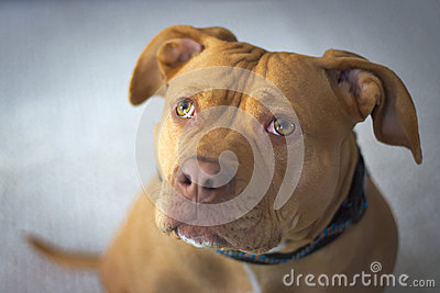 red nose staffordshire terrier pit bull red nosed staffordshire terrier portrait stock 3718