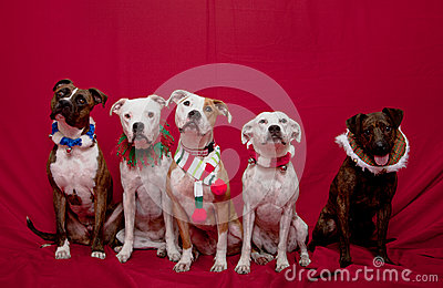 Pitbull family Christmas portrait