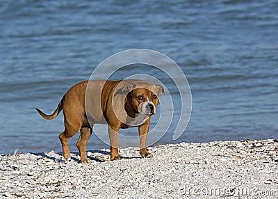 Pitbull a mélangé le chien de race