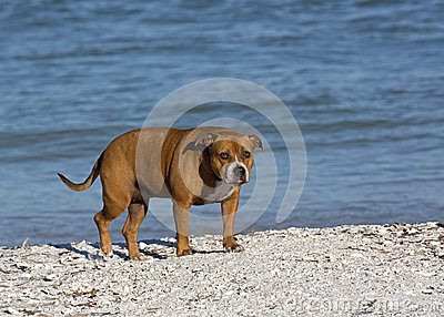Pitbull mixed breed dog
