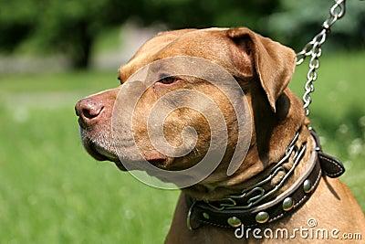 Pitbull red nose portrait