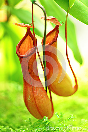 Free Pitcher Plant Royalty Free Stock Image - 27221836