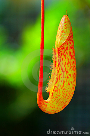 Free Pitcher Plant Royalty Free Stock Images - 6270109