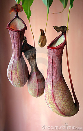 Free Pitcher Plant Or Monkey Cup Stock Photography - 2892282