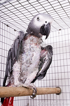 Pitiful African Gray