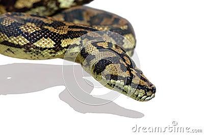 Pitón de la serpiente