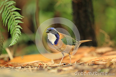 Pitta-like ground roller