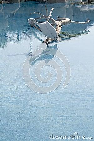 Pájaro del pelícano en el lago