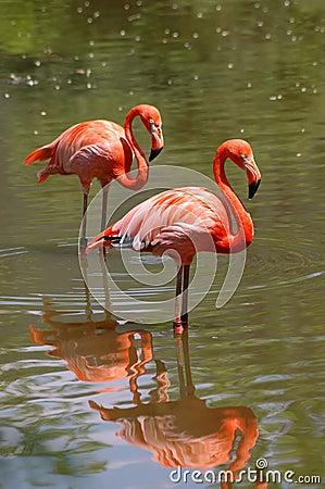 Pájaros rosados del flamenco