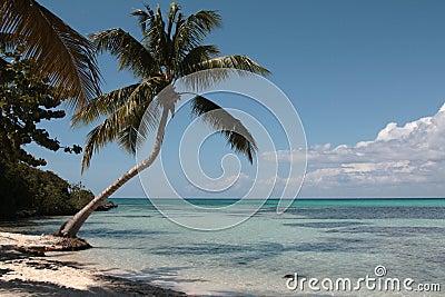Plażowy karaibski drzewko palmowe