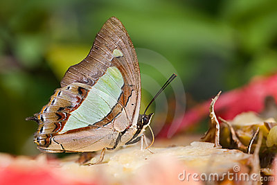Plain Nawab Butterfly Royalty Free Stock Photography - Image: 11808727