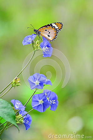 Plain tiger butterfly on flowers
