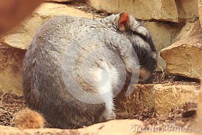 Plains viscacha