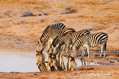 Plains Zebra (Equus Burchelii) drinking at Nyamand