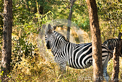 Plains zebra (Equus quagga) profile view