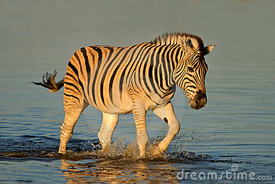 Plains Zebra, Etosha National Park, Namibia