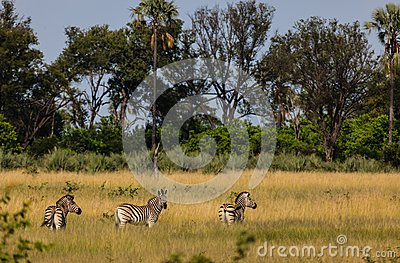 Plains zebra graze in grasslands of Chobe National Park, Botswana