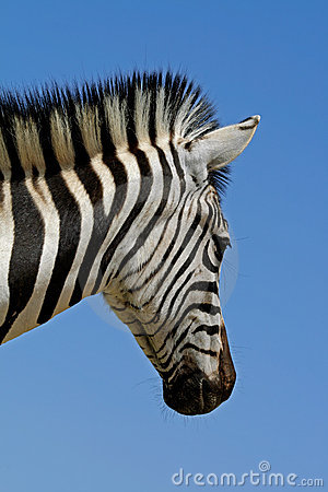 Free Plains Zebra Portrait Stock Photos - 4374853