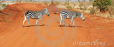 Plains zebras (Equus burchellii)