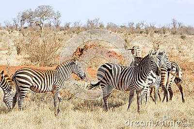 Plains zebras (Equus burchellii)