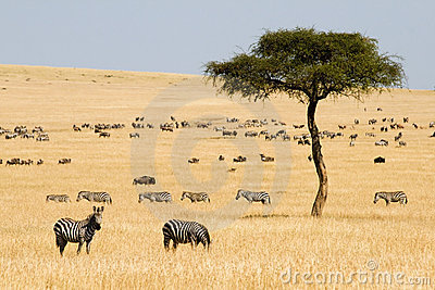 Plains zebras (Equus quagga) and Gnus
