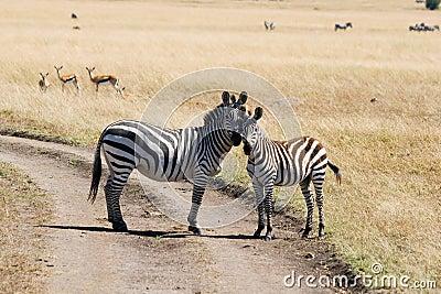 Plains zebras (Equus quagga) in Masai Mara