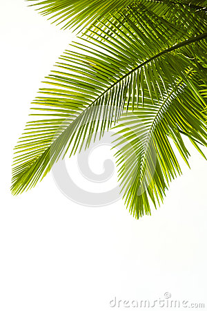 Free Plam Leaves Isolated On White Royalty Free Stock Photography - 26537357