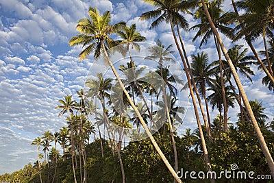 Plam Trees, Fiji
