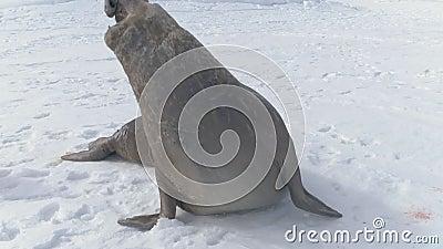 Plan rapproché adulte de grondement de phoque d'éléphant de l'Antarctique banque de vidéos