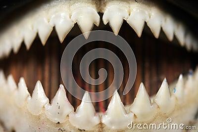 Plan rapproché de dents de piranha