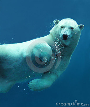 Plan rapproché sous-marin d ours blanc