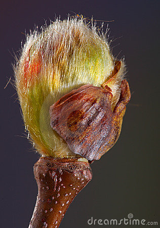 Plane Tree Bud Royalty Free Stock Photos - Image: 13879408