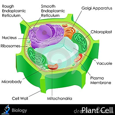 Free Plant Cell Stock Photography - 31606462