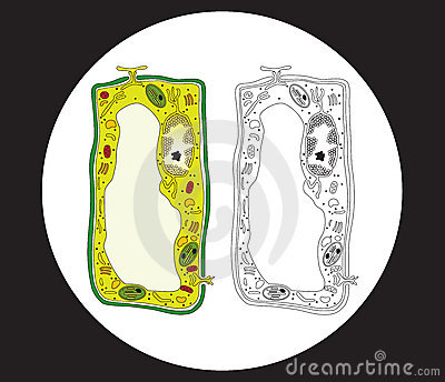 plant cell and animal cell pictures. plant cell and animal cell